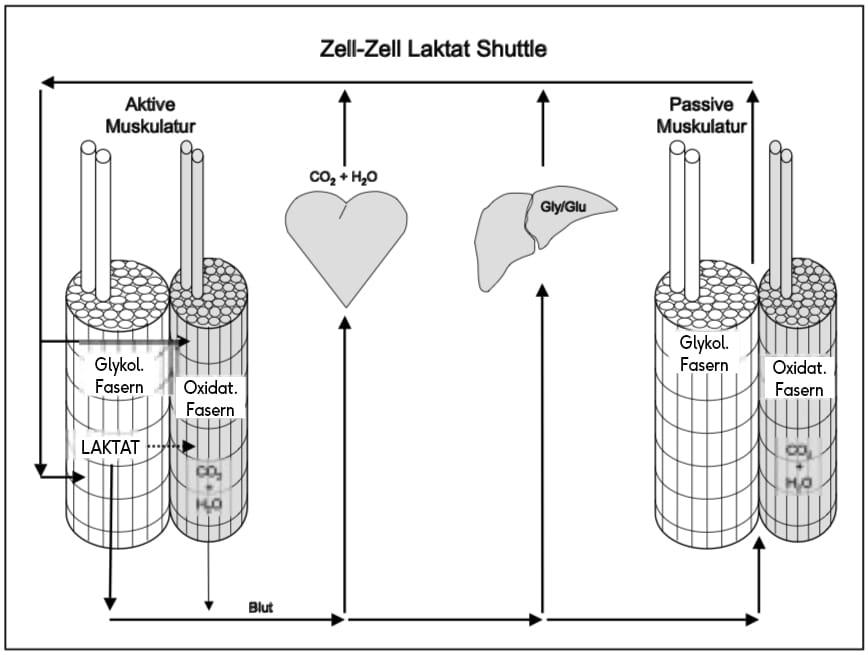 Laktatshuttle nach Wahl et al.